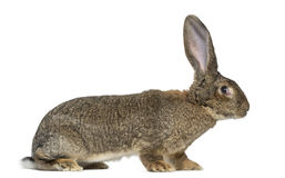 Flemish Giant rabbit in front of white background Royalty Free Stock Photos