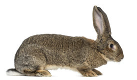 Flemish Giant rabbit in front of white background Stock Images