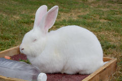 Flemish Giant Rabbit. White Flemish Giant Rabbit resting on hot summer day with frozen bottle of water for heat relief Royalty Free Stock Photos