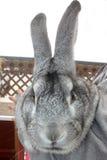 Flemish Rabbit Stock Image