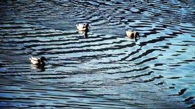 Flera änder som simmar i sjön med refelction på yttersida
