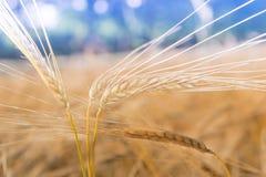 Flera öron av korn på vetefält Arkivbilder