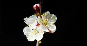Flera aprikosblommor blomstrar på en filial på en mörk bakgrund stock video
