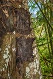 Flera behandla som ett barn gravar i stort gammalt träd Kambira Tana Toraja Arkivfoton