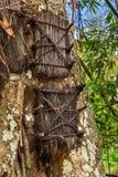 Flera behandla som ett barn gravar i stort gammalt träd Kambira Tana Toraja Arkivbild