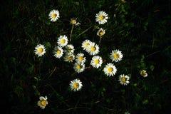 Flera blomningar av tusenskönan i gräs Fotografering för Bildbyråer
