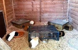 Flera försökskaniner i en stor bur för hem- körning Arkivbild