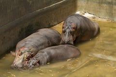 Flera flodhästar som vilar i en behållare Royaltyfri Foto