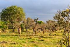 Flera giraff som går och äter i ett landskap Arkivbilder