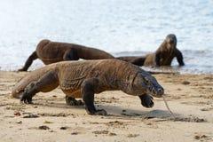 Flera Komodo drakar på stranden arkivbilder