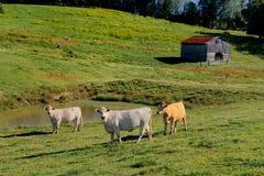 Flera kor (Bostaurus) ner på lantgården arkivfoton