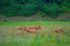 Flera kor som ner ligger på fält för grönt gräs arkivfoto