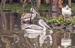 Flera pelicanos Arkivfoton