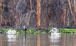 Flera pelicanos Arkivbild