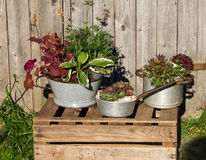 Flera perenna växter, plantet i tappningköksgeråd Arkivbild