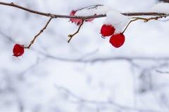 Flera röda bär av en hagtorn på en filial med snön Royaltyfria Foton