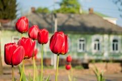 Flera röda tulpan i parkerar royaltyfri bild