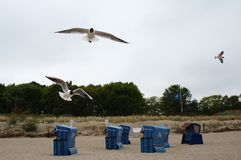 Flera seagulls som flyger över strandstolarna Arkivbild