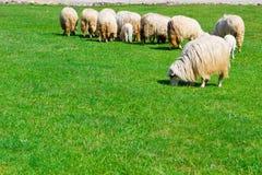 Flera sheeps på fält Fotografering för Bildbyråer