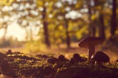 Flera skogchampinjoner mot suddiga färgrika träd arkivbilder