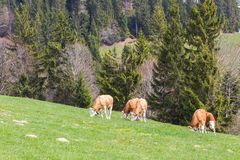 Flera unga tjurar som betar i grön äng, träd, skog royaltyfri foto