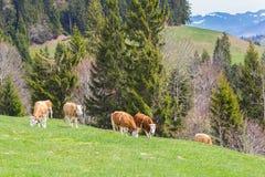 Flera unga tjurar som står i den gröna betesmarken, bergområde, royaltyfri foto