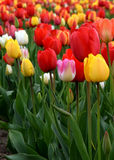 Flerfärgad tulipfield i blom Arkivfoto