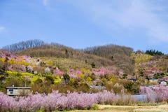 Flerfärgade blomningträd som täcker backen, Hanamiyama parkerar, Fukushima, Tohoku, Japan royaltyfri bild
