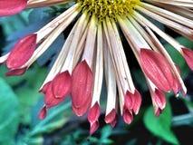 Flerfärgade kronblad av en blomma arkivfoton