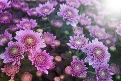 Flerfärgade krysantemumrosa färger - fotografering för bildbyråer