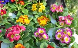 Flerfärgade primulablommor våren blommar primulan Arkivbilder