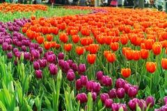 Flerfärgade tulpan i trädgården Fotografering för Bildbyråer