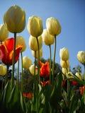 Flerfärgade tulpan och en blå himmel Arkivbild