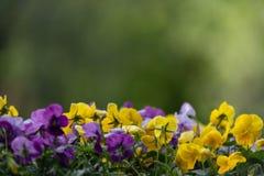 Flerf?rgade pens?blommor eller pansies st?nger sig upp som bakgrund eller kort arkivbilder