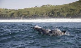 Fles vier besnuffelde Dolfijnen komt tot adem, Zuid-Afrika royalty-vrije stock fotografie