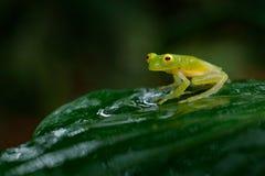 Fleschmanns Glass Frog, Hyalinobatrachium fleischmanni in nature habitat, animal with big yellow eyes, near the forest river. Fro. Fleschmann Glass Frog royalty free stock images