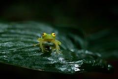 FleschmannÂs Glass groda, Hyalinobatrachium fleischmanni, naturlivsmiljö, djur med stora röda ögon Royaltyfri Fotografi