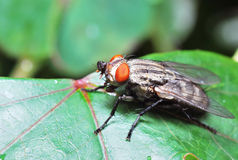Flesh Fly royalty free stock photography