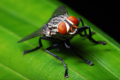 Flesh Fly royalty free stock image