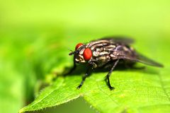 Flesh Fly Stock Photo