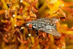 Flesh fly Stock Photography