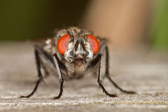 Flesh Fly. An Adult Flesh Fly Portrait royalty free stock photo
