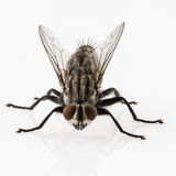 Flesh fly Stock Image