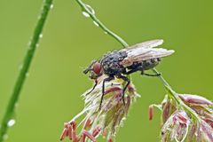 Flesh-fly Royalty Free Stock Image