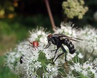 Flesh-fly and beetles at summer time Stock Photography