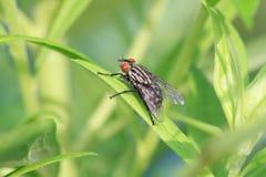 Flesh Fly Royalty Free Stock Photography