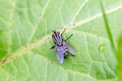 Flesh fly sitting on leaf in field. Flesh fly with broken wing Sarcophaga sp. sitting on leaf. Close up royalty free stock image