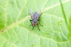 Flesh fly sitting on leaf in field. Flesh fly with broken wing Sarcophaga sp. sitting on leaf. Close up royalty free stock photo