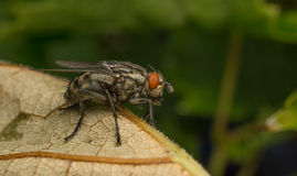 A Flesh Fly Royalty Free Stock Image