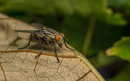 A Flesh Fly Royalty Free Stock Photos
